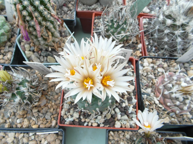 Cacti and Sukkulent in Köln, every day new flowers in the greenhouse Part 64 Bild_969