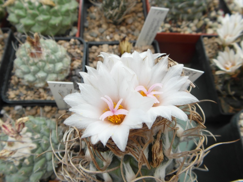 Cacti and Sukkulent in Köln, every day new flowers in the greenhouse Part 64 Bild_970