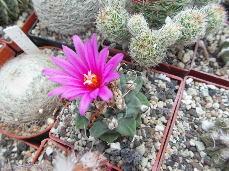Cacti and Sukkulent in Köln, every day new flowers in the greenhouse Part 64 Bild_972