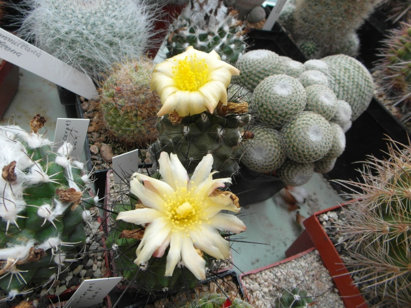 Cacti and Sukkulent in Köln, every day new flowers in the greenhouse Part 64 Bild_976