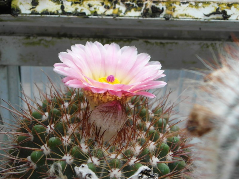 Cacti and Sukkulent in Köln, every day new flowers in the greenhouse Part 64 Bild_978