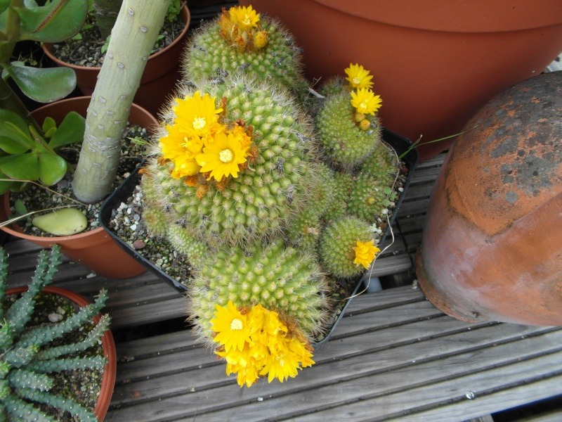Cacti and Sukkulent in Köln, every day new flowers in the greenhouse Part 64 Bild_985