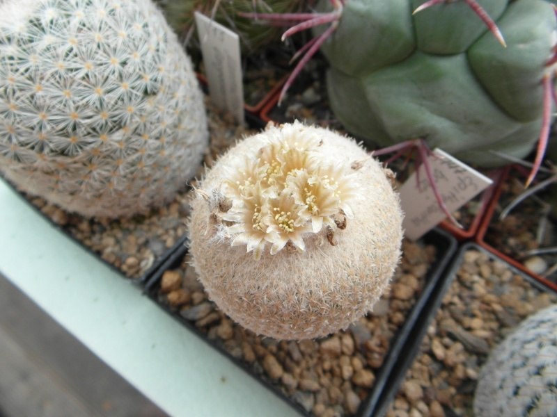 Cacti and Sukkulent in Köln, every day new flowers in the greenhouse Part 64 Bild_987