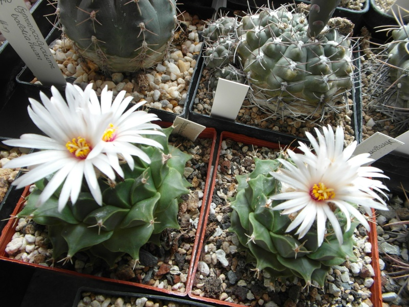 Cacti and Sukkulent in Köln, every day new flowers in the greenhouse Part 64 Bild_988