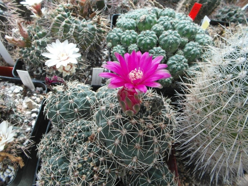 Cacti and Sukkulent in Köln, every day new flowers in the greenhouse Part 64 Bild_993
