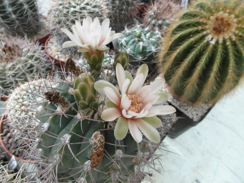 Cacti and Sukkulent in Köln, every day new flowers in the greenhouse Part 64 Bild_994