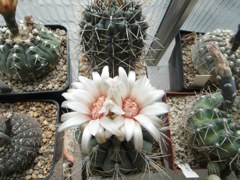 Cacti and Sukkulent in Köln, every day new flowers in the greenhouse Part 64 Bild_996