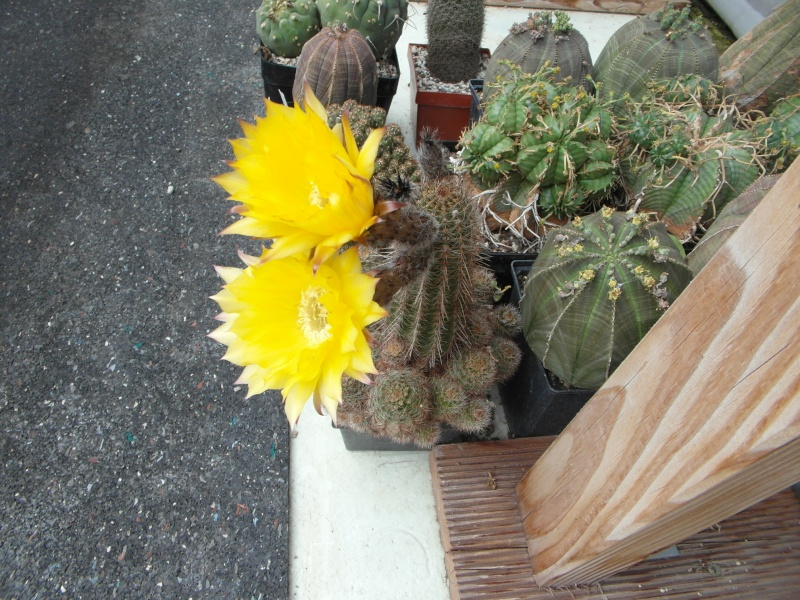 Cacti and Sukkulent in Köln, every day new flowers in the greenhouse Part 64 Bild_999
