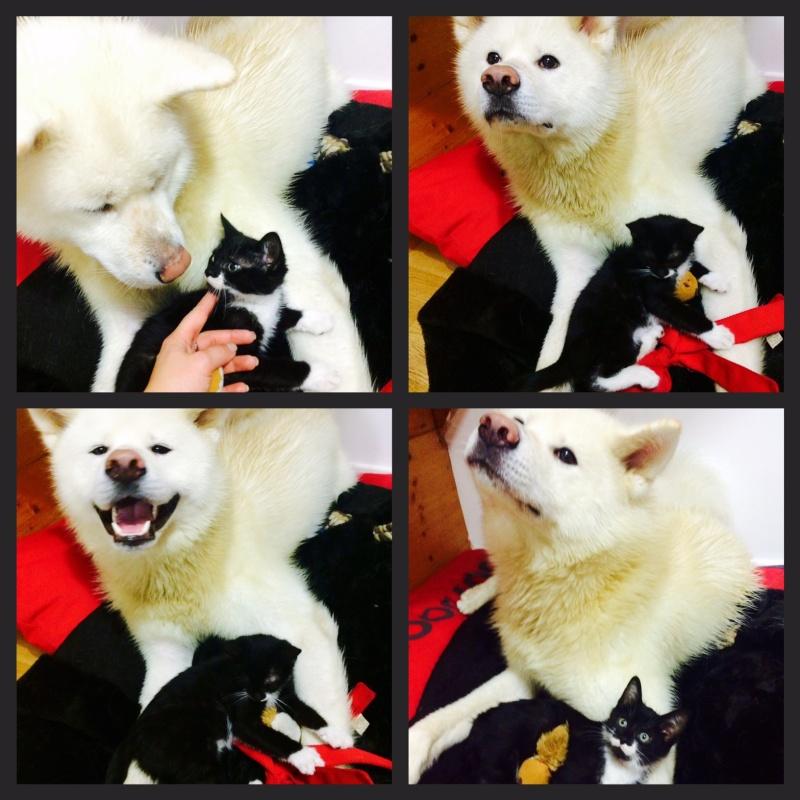 JEFFERSON, chaton mâle noir et blanc, né le 20/08/14 Img_3612