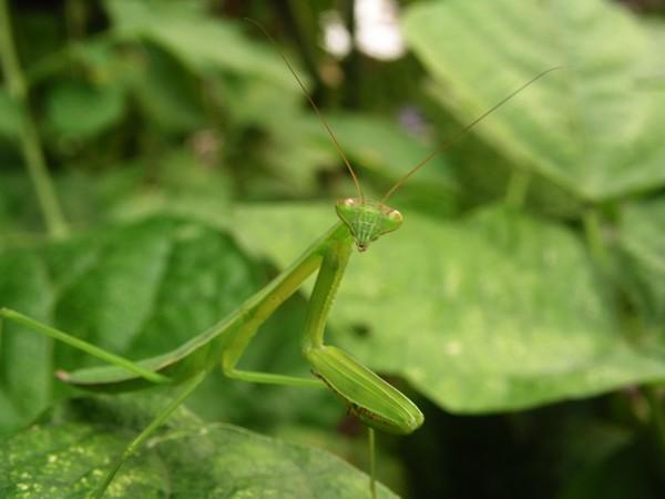 Here's a Praying Mantis Lookin' at You... Mantis10
