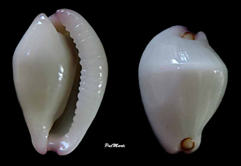 Calpurnus verrucosus - (Linnaeus, 1758) Calpur10