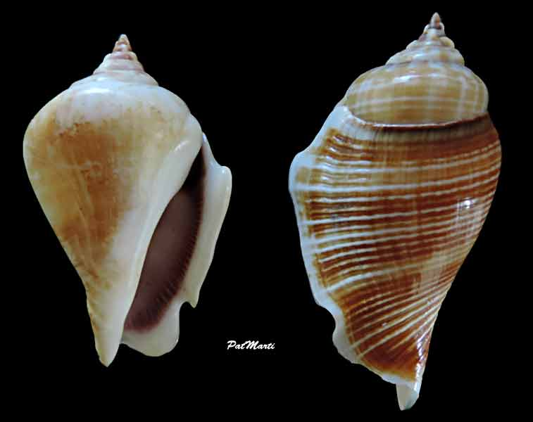 Gibberulus gibberulus gibberulus - (Linnaeus, 1758)  Gibber10