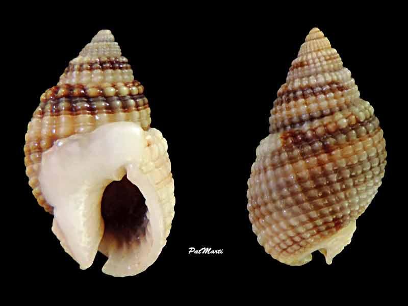 Nassarius gemmuliferus - (A. Adams, 1852) Nassar11