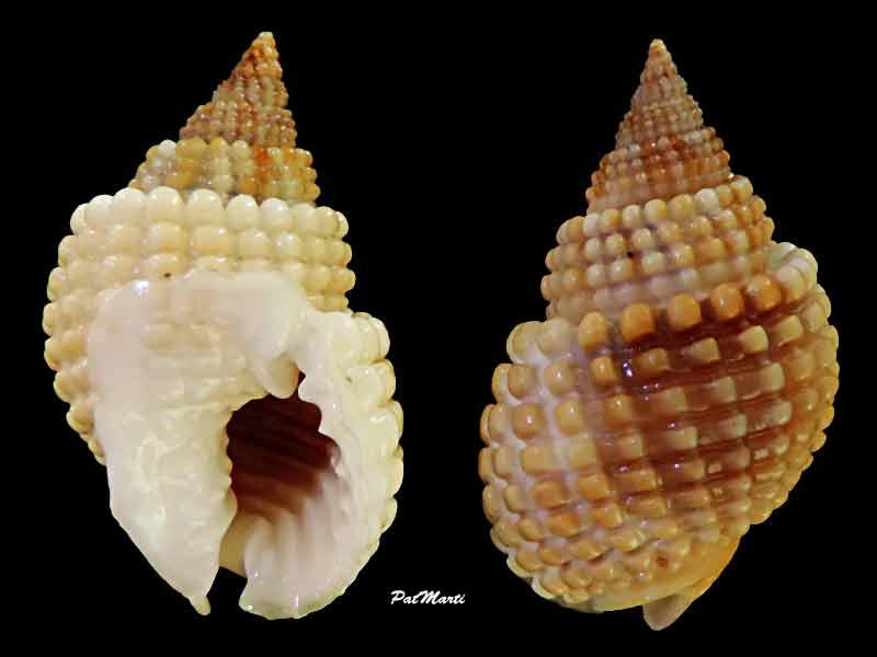 Nassarius conoidalis - (Deshayes, 1832) Nassar12