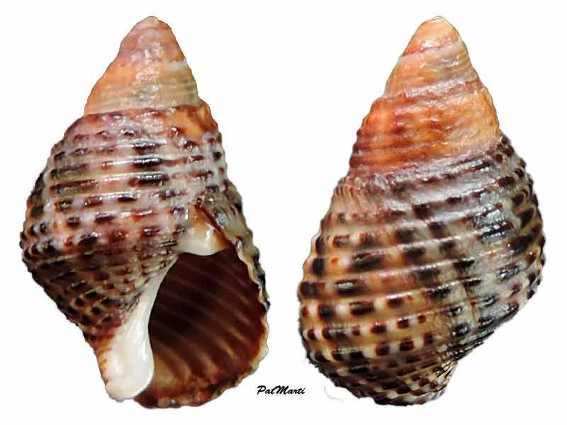 Planaxis sulcatus - (Born, 1778) Planax10