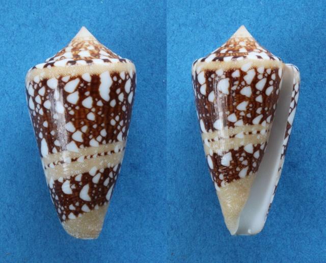 Conus (Cylinder) ammiralis  Linnaeus, 1758 Panora10