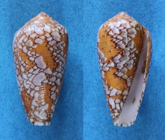 Conus (Darioconus) behelokensis   Lauer, 1989 Panora11