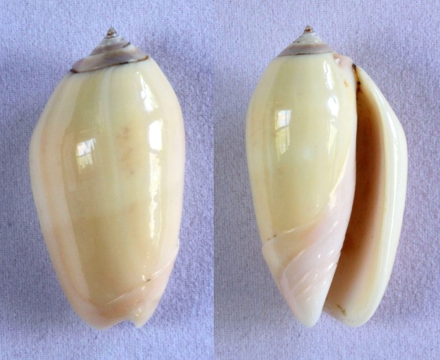 Americoliva incrassata burchorum (Zeigler, 1969) - Worms = Americoliva incrassata (Lightfoot in Solander, 1786) - Page 2 Panora14