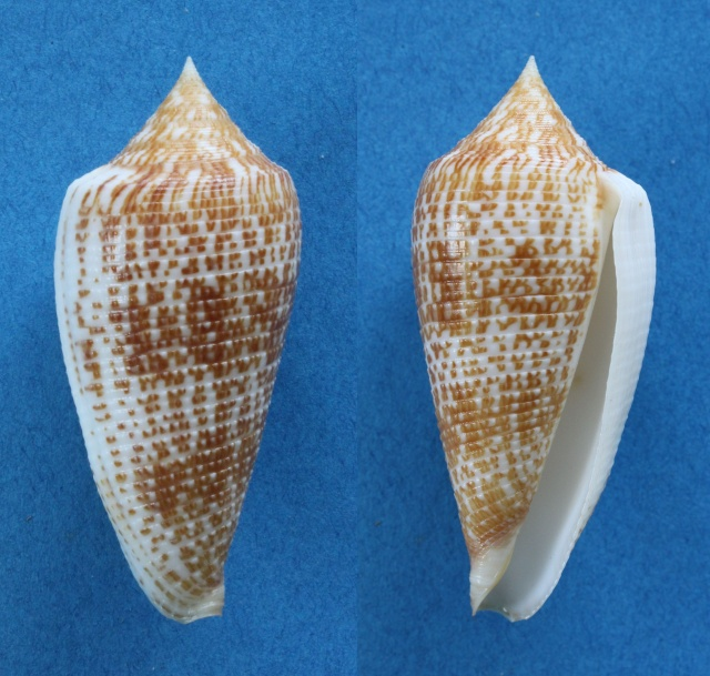 Conus (Phasmoconus) armadillo  Shikama, 1971 Panora21