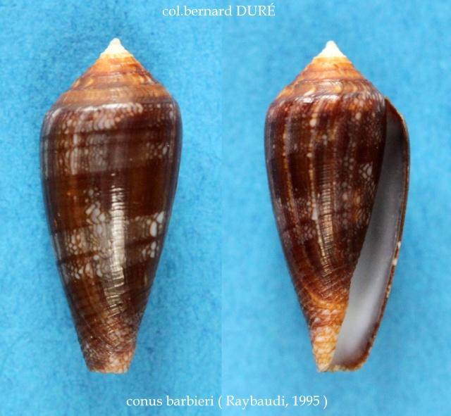 Conus (Cylinder) barbieri    Raybaudi, 1995 Panora23