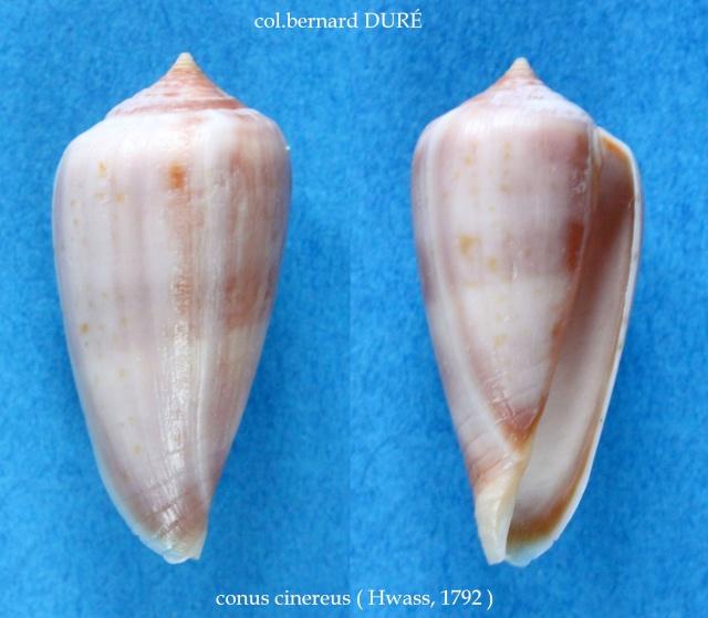 Conus (Phasmoconus) cinereus  Hwass in Bruguière, 1792 Panora31