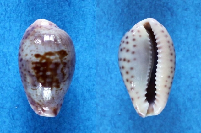 Zonaria sanguinolenta - (Gmelin, 1791) Panora41