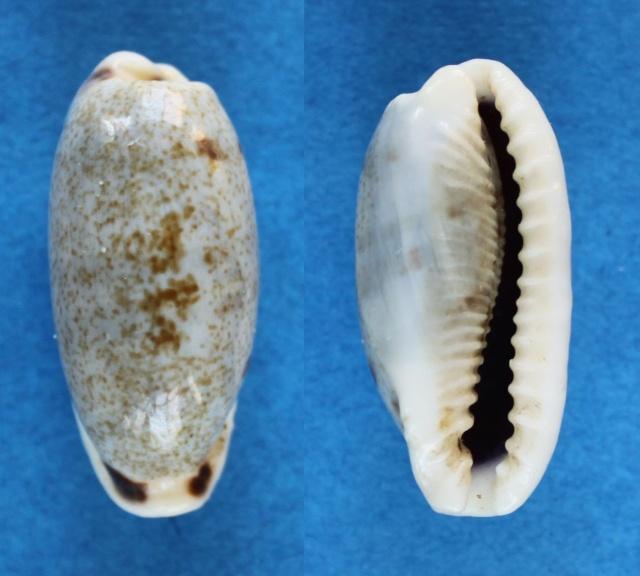 Erronea cylindrica lenella - Iredale, 1939 Panora42