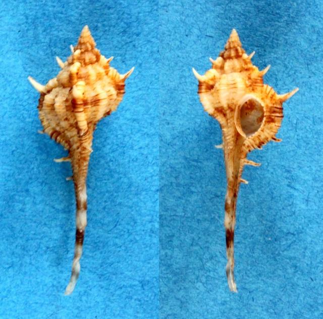 Vokesimurex dolichourus - (Ponder & Vokes, 1988)  Panora49