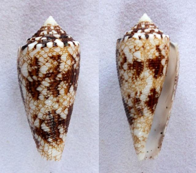 Conus (Cylinder) tagaroae   (Limpalaër & Monnier, 2013) Panora51