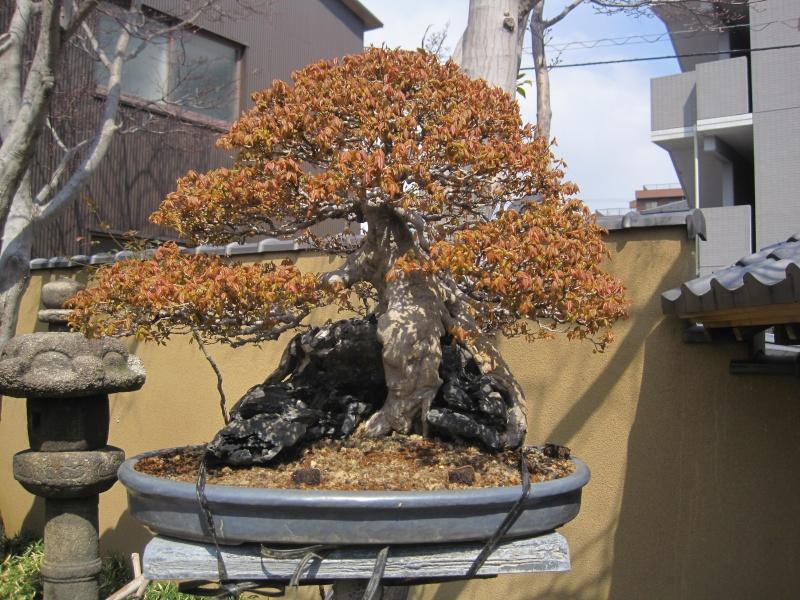 Bonsai Trip To Japan, April 2012 - Page 2 Img_0315