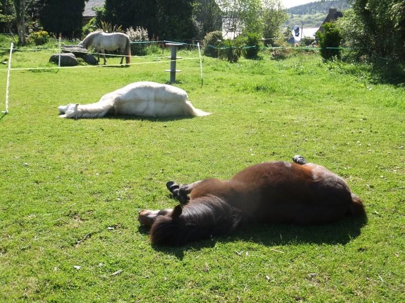CONCOURS PHOTO : Les chevaux paresseux... 12051410