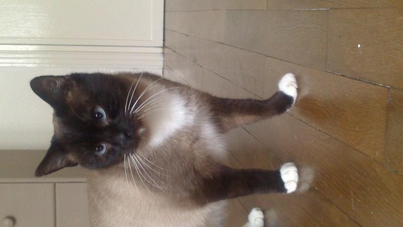 Gringo, chat croisé siamois fauve et blanc, né en 2011 Dsc_0010