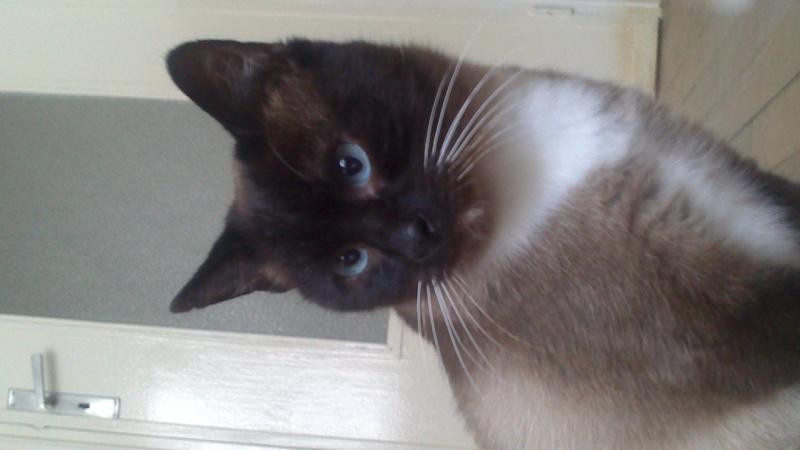 Gringo, chat croisé siamois fauve et blanc, né en 2011 Dsc_0012