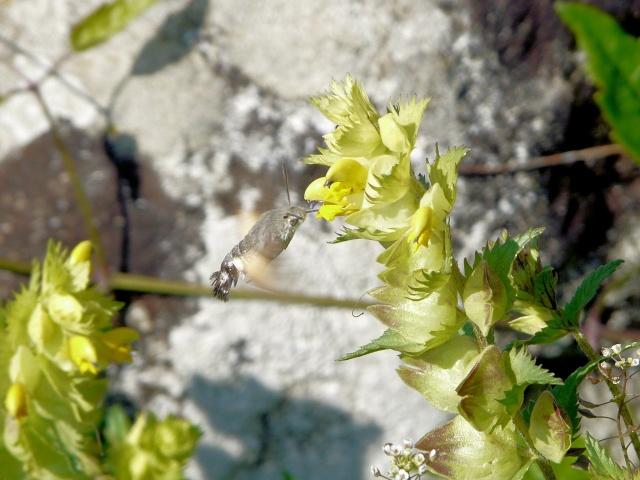Rhinanthus alectorolophus - rhinanthe crête de coq 30_4311