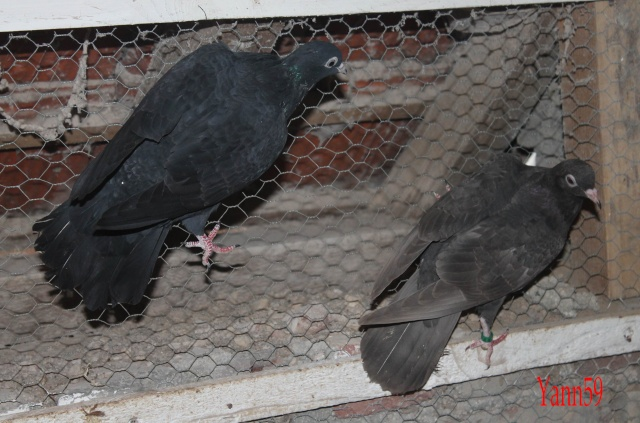 Mes pigeons 01_09_16
