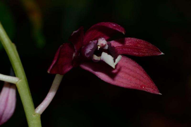 Phaius pulchellus Phaius11