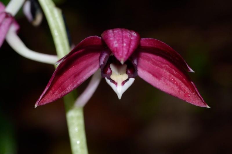 Phaius pulchellus Phaius12