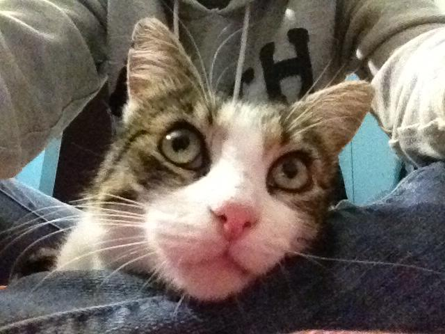 Merlin, chat tabby et blanc, né en 2008 11870110