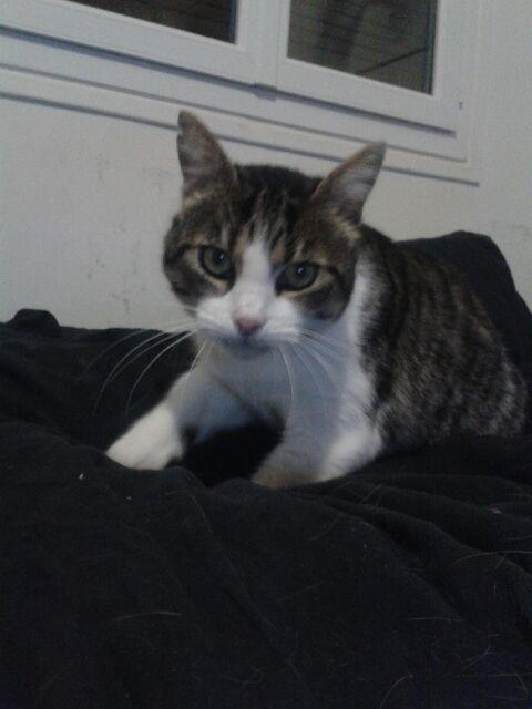 Merlin, chat tabby et blanc, né en 2008 Merlin10