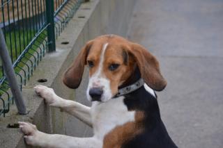 ROXY jeune mâle beagle 10 mois (ASSO GALIA 85) Roxy110
