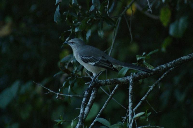 5 Oiseaux de Floride Orland19