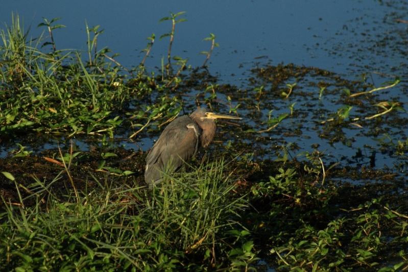 Oiseaux de Floride -2 Orland32