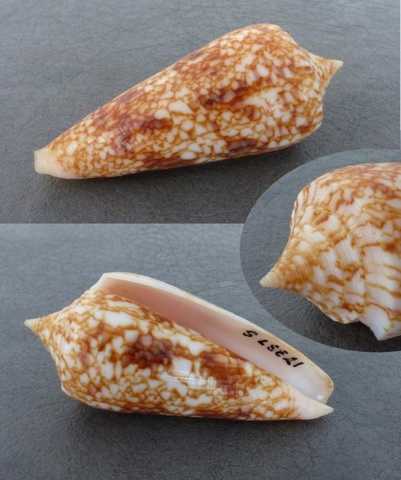 Conus (Phasmoconus) neptunus   Reeve, 1843 Conus_11