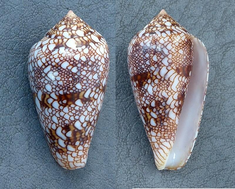 Conus (Cylinder) canonicus textilinus   Kiener, 1845  - Page 2 Conus_12