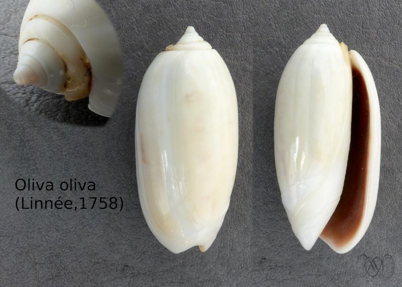 Oliva oliva (Linnaeus, 1758) - Page 2 Oliva_10
