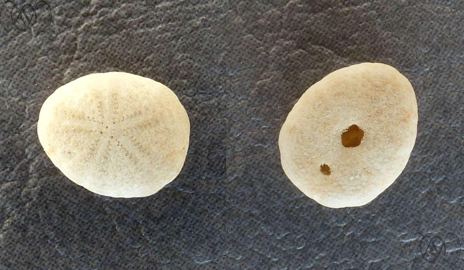 Collectionneurs de tests d'oursins actuels Oursin12