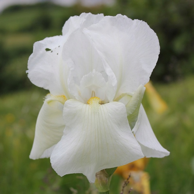 Iris 'Cheverny' 07_mai10