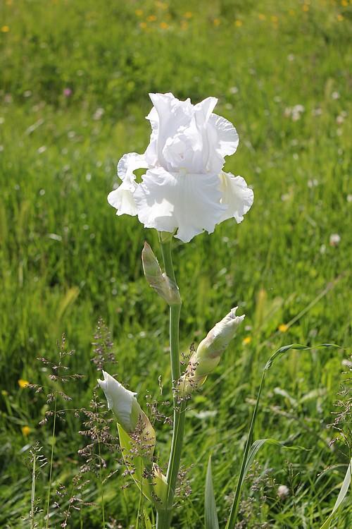 Iris blanc 07_mai14