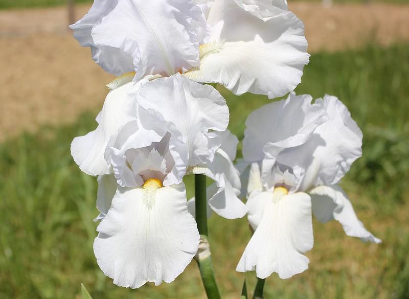 Iris 'Cheverny' 10_mai10