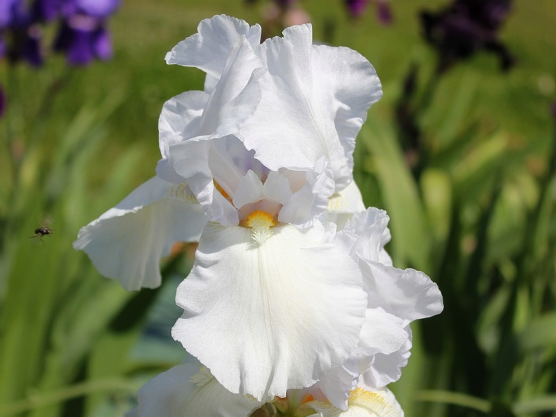 Iris 'Cheverny' 10_mai12
